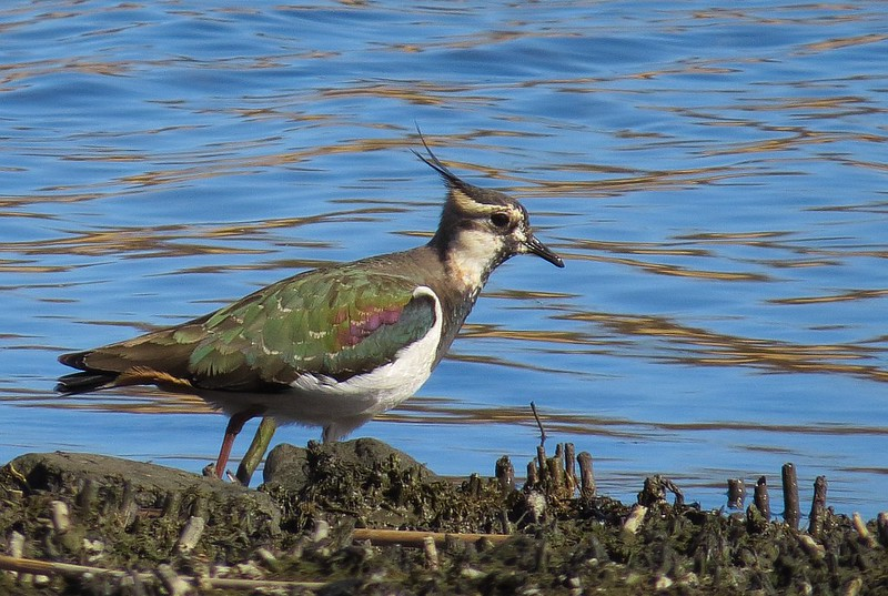 Tofsvipa / Northern Lapwing