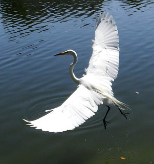 Egret: GREAT WHITE  #10