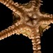 Brittle star - underside of disk