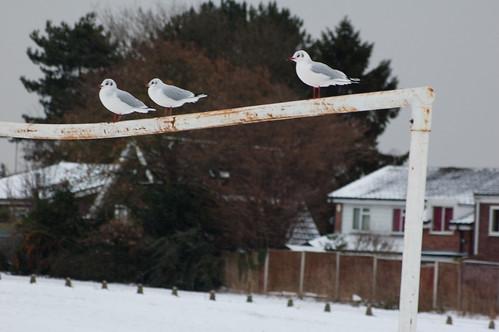 Gulls on a goal
