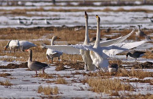 Cygnus cygnus Whooper Swan Sångsvan
