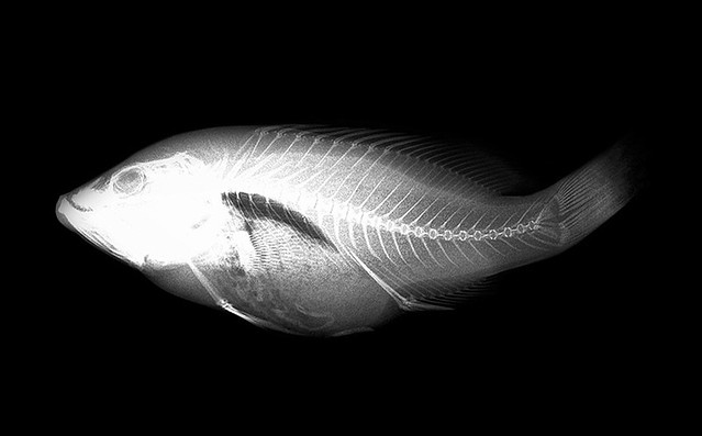 X ray fish fish in x ray images taken as part of our for X ray fish