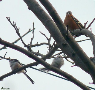 2 LTT's And A Male Chaffinch.