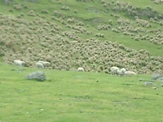 Sheep Christchurch New Zealand