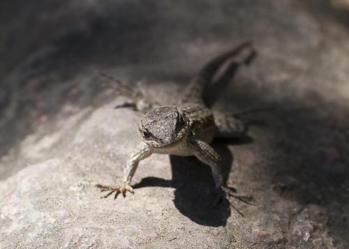 Lizard by https://www.flickr.com/photos/gcwest/