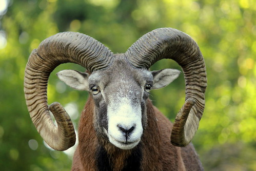 A ram in the Tierpark Goldau