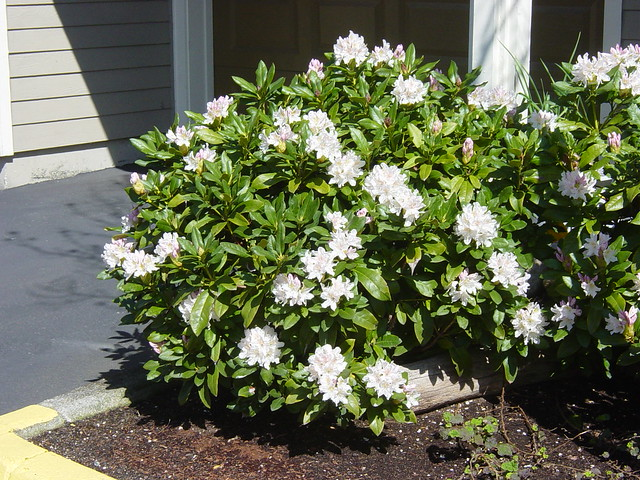 rhododendron 39 cunninghams white 39 flr flickr photo sharing. Black Bedroom Furniture Sets. Home Design Ideas