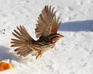 Sparrows looking for food in the snow
