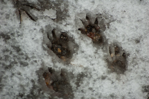 Squirrel footprints in snow
