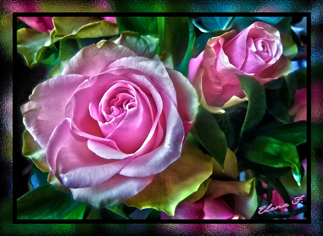 My Pink Roses in HDR