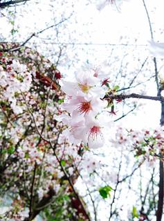 Mi3_Sakura_04