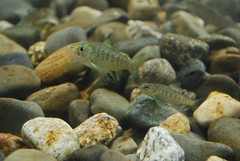 Baby salmon with stripes swim among small rocks.