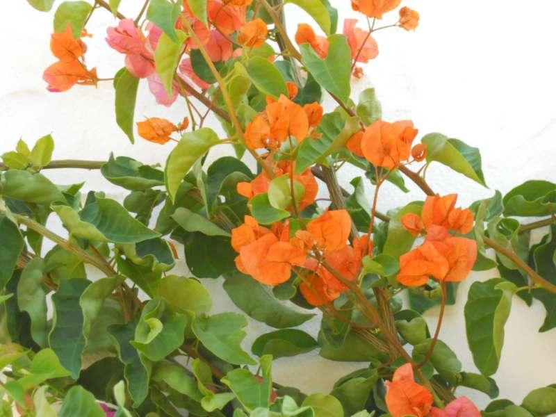 Bougainvillea hybrida 'Mrs. Louis Waltham' 3