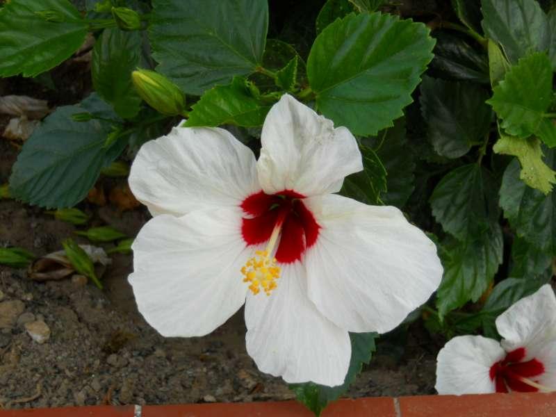 Hibiscus rosa sinensis 'Casablanca' 4