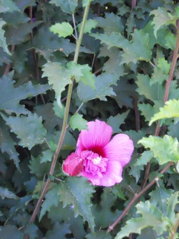 Hibiscus syriacus v 3