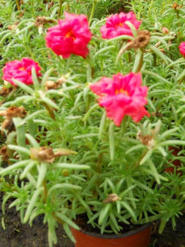 Portulaca grandiflora v 3