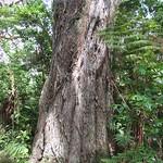 Large forest grown Acacia koa