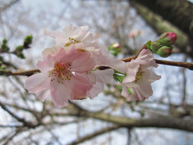 Prunus x subhirtella 'Jugatsu-zakura' blooming in early December. Photo by Rebecca Bullene