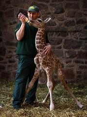 animal, giraffe, fauna, giraffidae,
