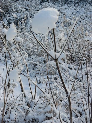 Snowy umbellifer