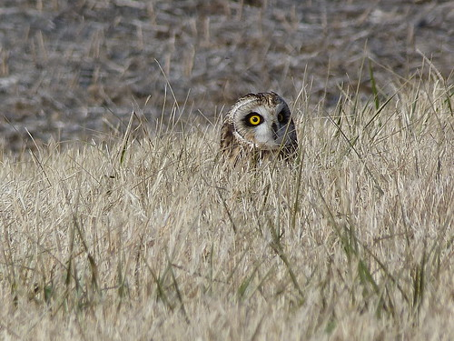 tennessee owl refuge kenton shorteared hopin