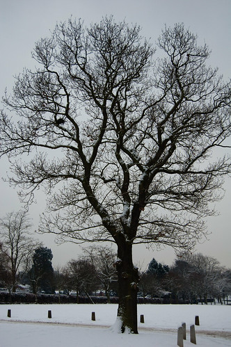 Wintry oak