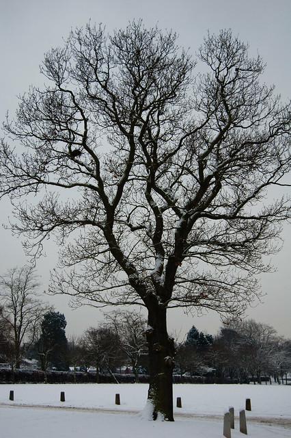 Wintry oak