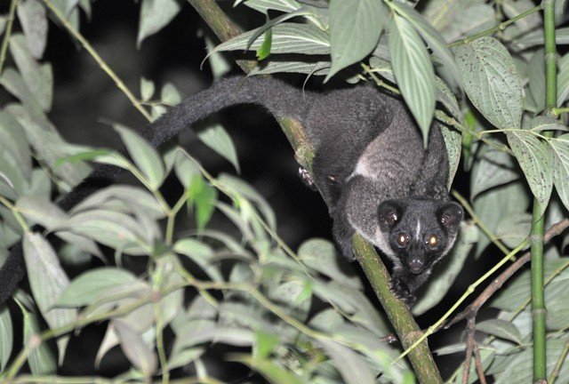 Civet Small-toothed Palm Medium