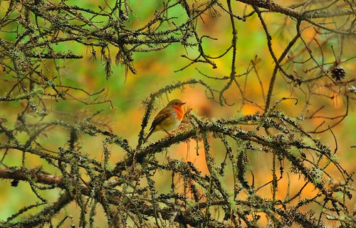 Robin in the lichen
