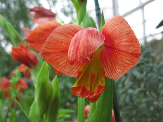 Gladiolus equitans blooms in the Warm Temperate Pavilion. Photo by Rebecca Bullene.