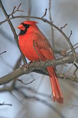 animal, branch, wing, red, fauna, finch, cardinal, beak, bird,
