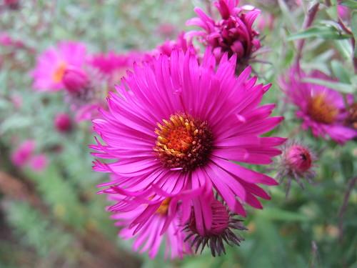 SYMPHYOTRICHUM novae-angliae 'Crimson Beauty'