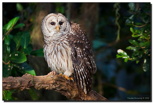 Barred Owl in the Spotlight