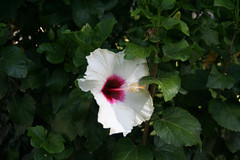 annual plant, flower, leaf, plant, malvales, flora, chinese hibiscus, petal,