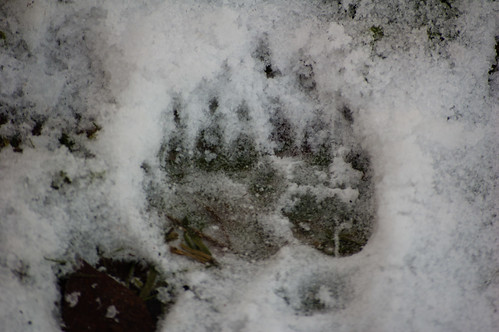 Badger footprints