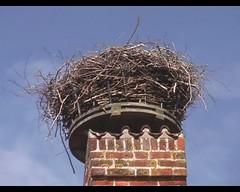 Ciconia ciconia (White Stork) - nest