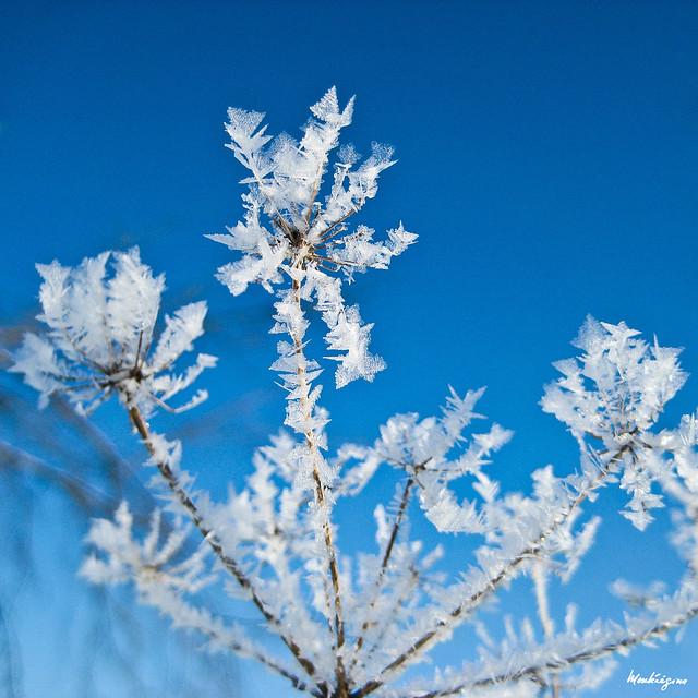 winter flower fleur d hiver flickr photo