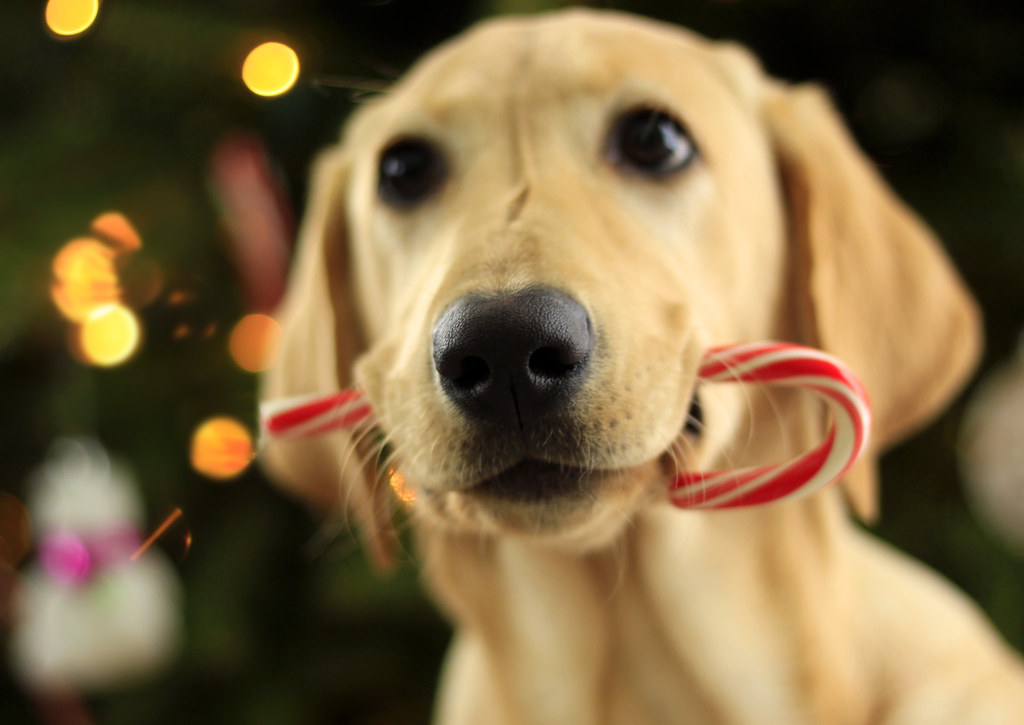 christmas retriever