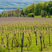 Vineyards along Seneca Lake - Finger Lakes region, New York