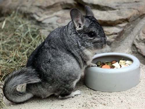 Chinchilla - Chinchilla lanigera - Long-tailed Chinchilla
