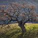Sunol Regional Wilderness: Oak Tree by AGrinberg