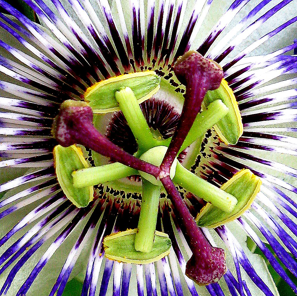 Mahabharatham Flower/ Passion fruit Flower/Passion flower from kerala