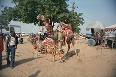 Pushkar camels 02