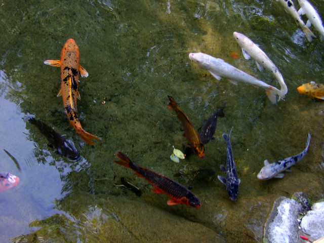 Photo for Koi carp farm