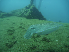 coral reef(0.0), sports(0.0), diving(0.0), fish(1.0), sea(1.0), marine biology(1.0), cuttlefish(1.0), underwater(1.0), reef(1.0),