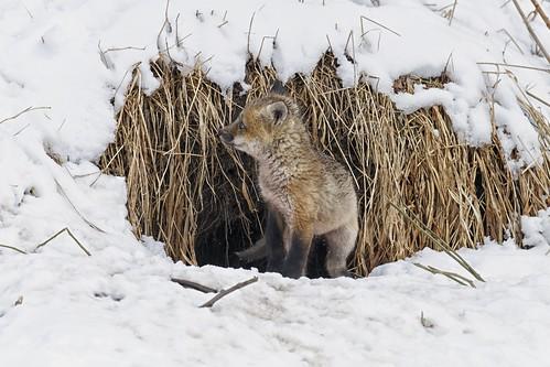 snow ontario animal fauna mammal spring wildlife den explore fox kit saultstemarie vulpesvulpes canidae colorefex saultcanal afsvrnikkor500mmf4ged nikon500mmf4vr detailextractor