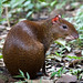 Central American Agouti - Photo (c) Peter Nijenhuis, some rights reserved (CC BY-NC-ND)
