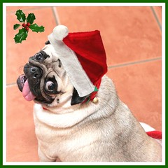 Deck the halls with pugs & holly. [expolred]