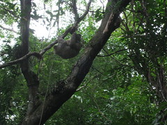 sloth, Cerro Ancon