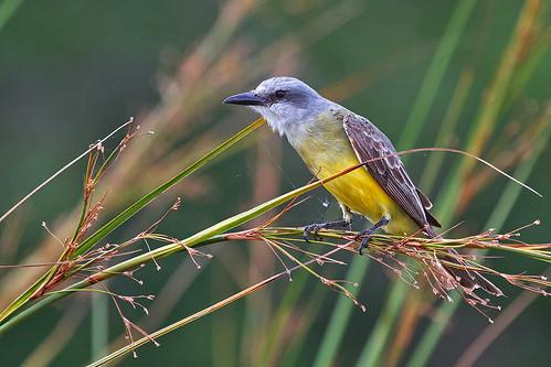 Tropical Kingbird (Tyrannus melancholicus) - Tropisk kungstyrann